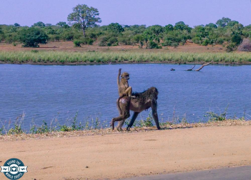 Kruger baboon (1 of 1).jpg
