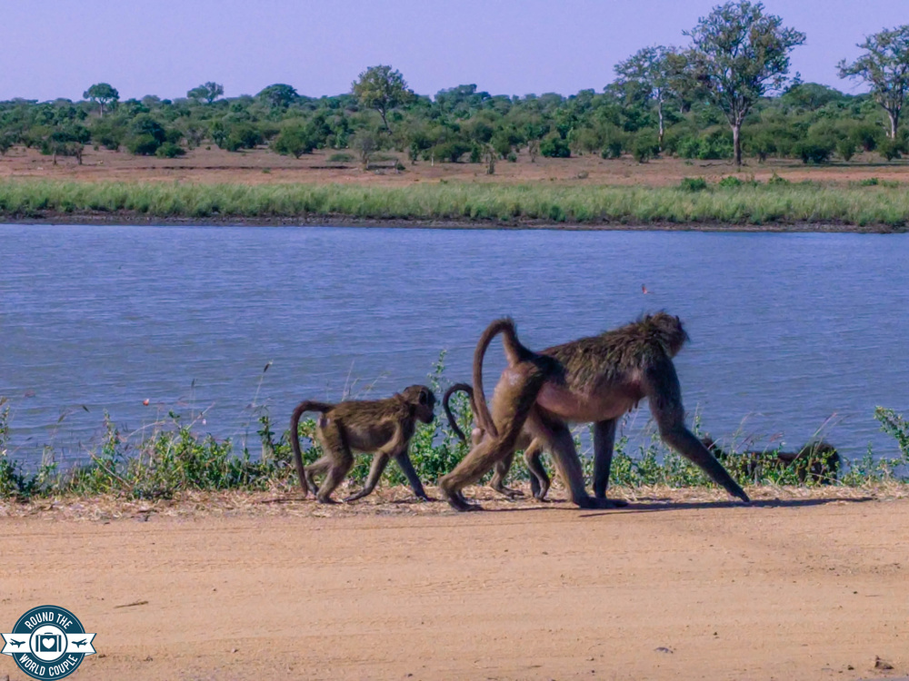 Kruger baboon 2 (1 of 1).jpg