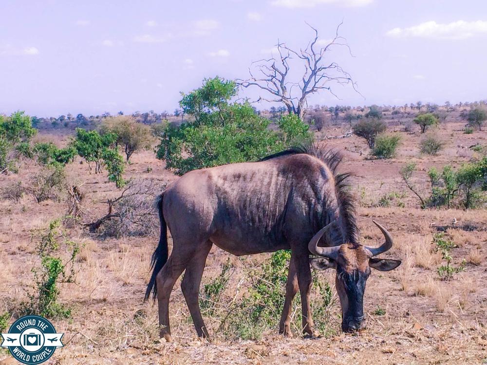 Kruger eland (1 of 1).jpg
