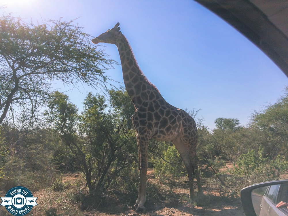 Kruger giraffe (1 of 1).jpg
