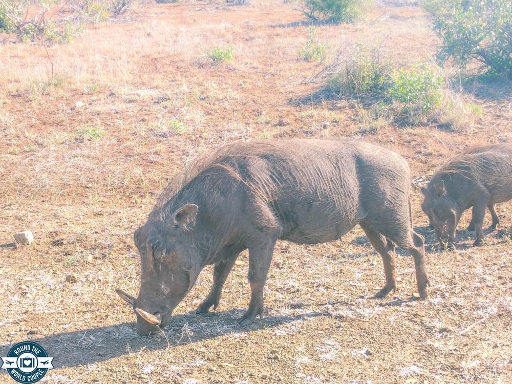 Kruger warthog 1 (1 of 1).jpg
