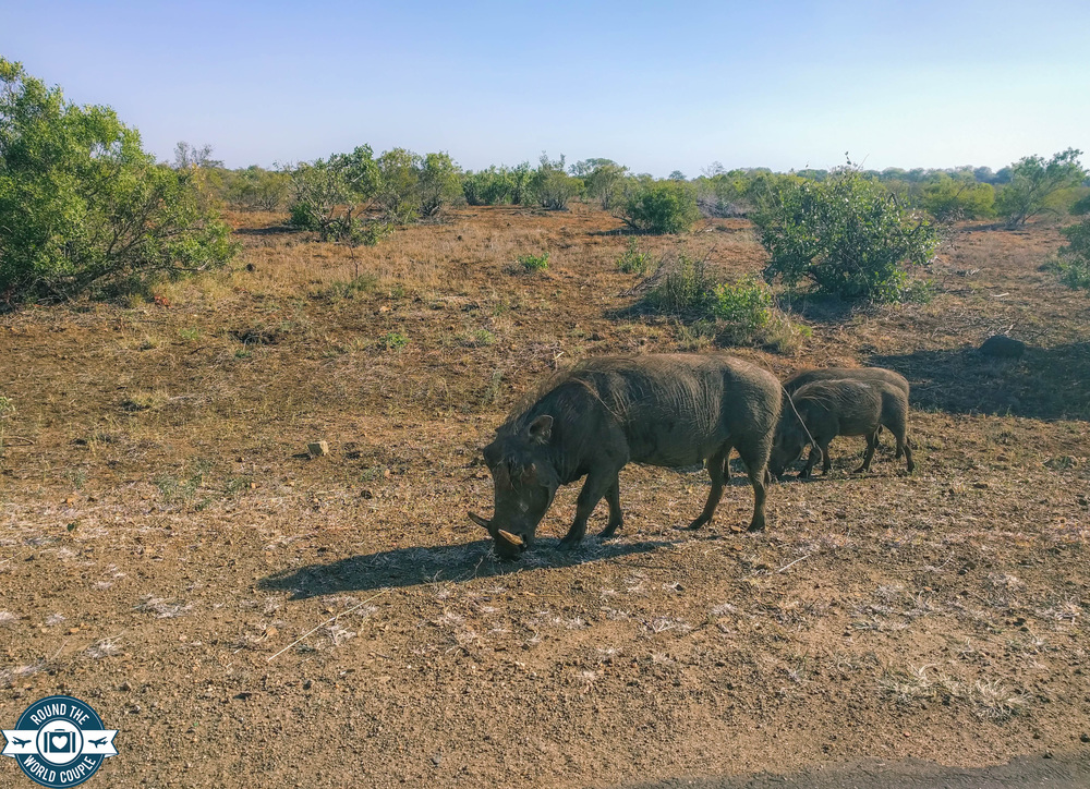 Kruger warthog (1 of 1).jpg