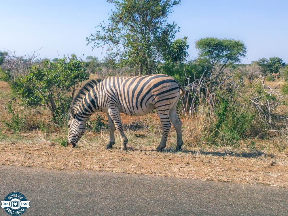 Kruger zebra (1 of 1).jpg