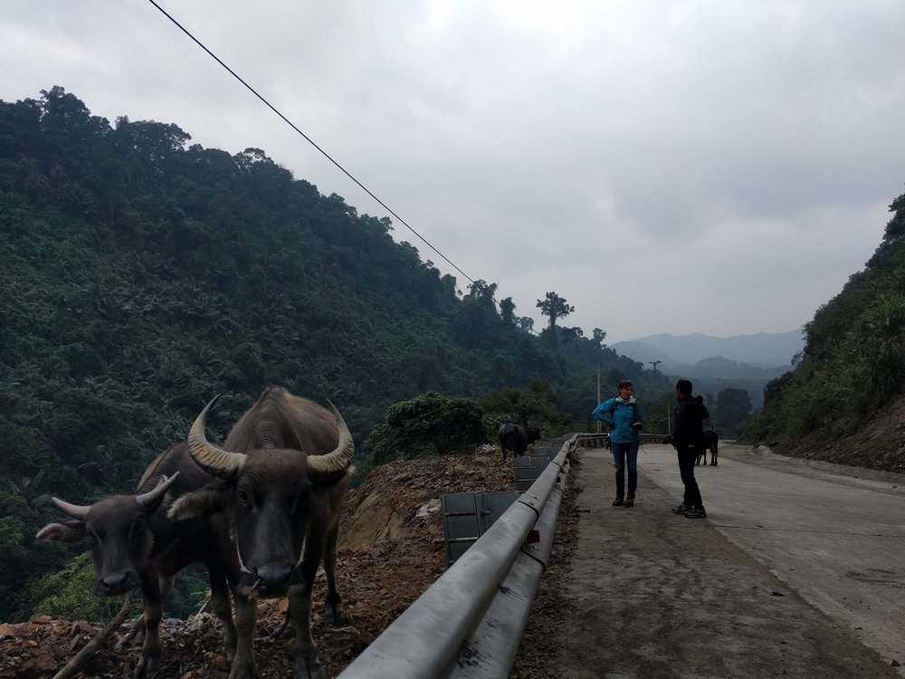 Motorbiking water buffalo.jpg