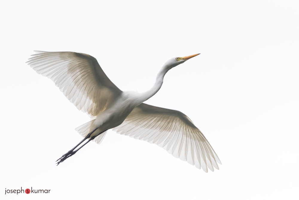 Great Egret, Ranganathittu, Mysore, India