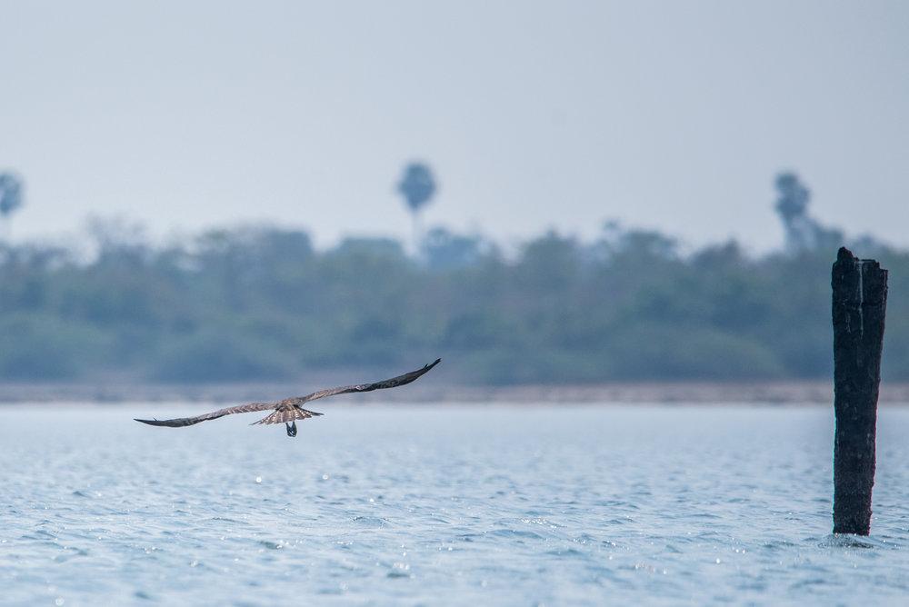 Pulicat_Birds24.jpg