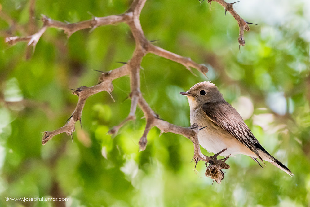 Asian Brown Flycatcher, Lalbagh, Bangalore