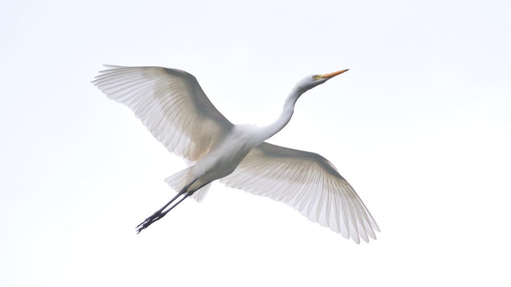 RISE. Great Egret. Ranganathittu, Karnataka. Nikon D750, Nikkor 200 - 500mm.