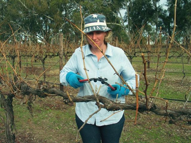 EMMA-JANE PRUNING THE VINES AT S. KIDMAN WINES, COONAWARRA, SA, AUSTRALIA