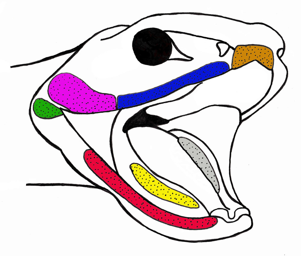 Simple schematic of the oral glands of snakes. The glands of the upper jaw include the premaxillary (brown), supralabial (blue), venom (pink), and rictal (green). The glands of the lower jaw include the infralabial (red), sublingual (yellow), and the supralingual (grey). Click here to download the associated paper
