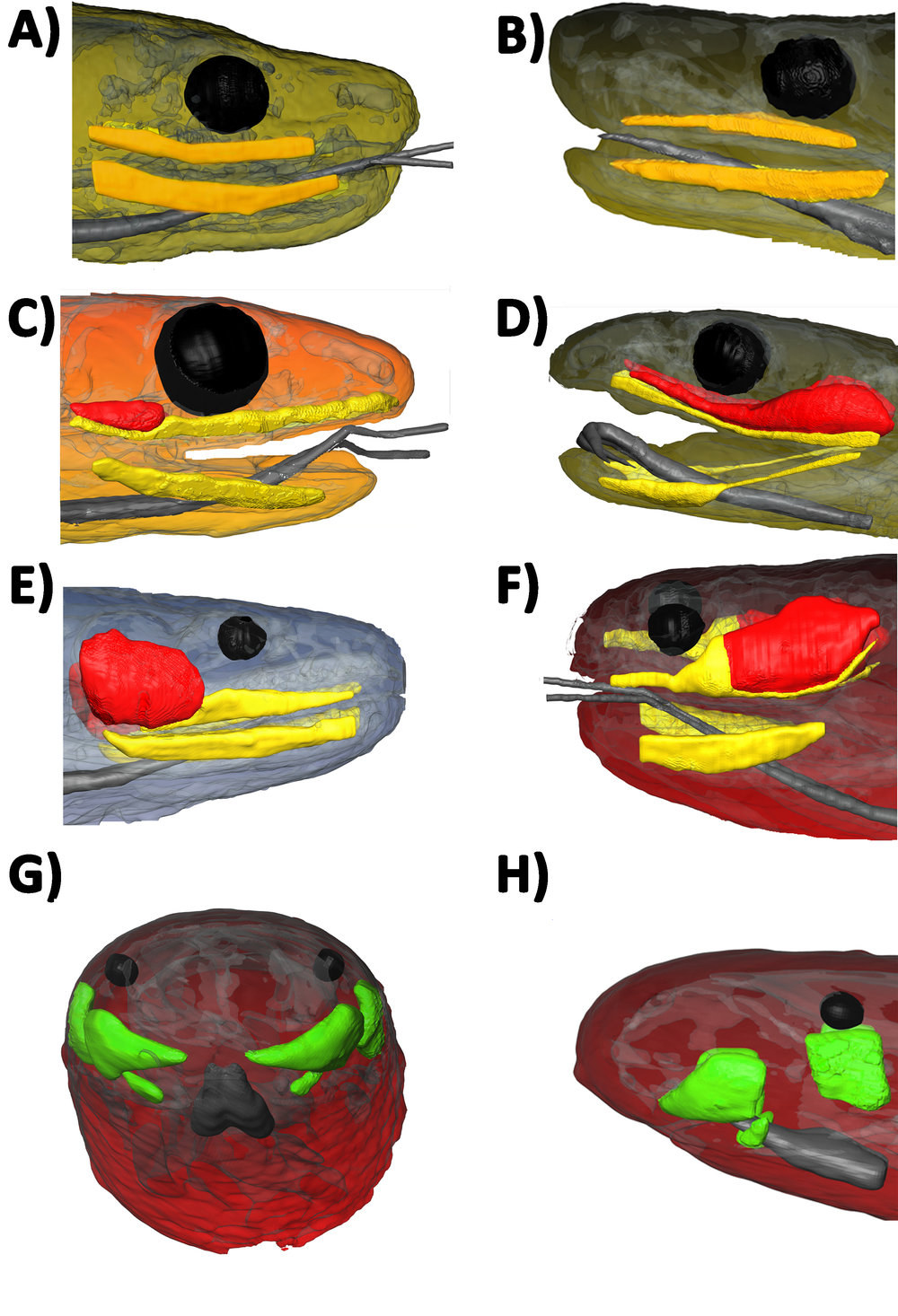 "Magnetic resonance imaging (MRI) of snake oral glands. Orange = Mucoid labial glands (no venom gland); yellow = mucoid labial glands (in presence of venom gland); red = venom gland; green = ""scolecophidian"" oral glands of unknown homology (see text for discussion). A) Eunectes notaeus, B) Python regius with the mandibular glands exceeding the size of the maxillary as part of the exaptation for lubrication of feathered and furred prey, C) Pantherophis guttatus, D) Dendroaspis polylepis, E Cerberus rynchops, F) Helicops leopardinus G/H Anilios guentheri. Click here to download the associated paper"