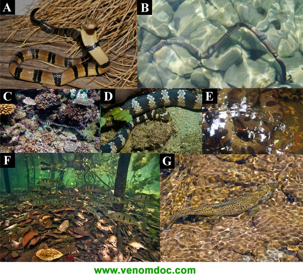 Disruptive camouflage patterning in aquatic snakes (A,B) Naja annulata which also has a secondarily extremely reduced hood and also secondarily lost its cytotoxicity; (C) Laticauda colubrina; (D) Emydocephalus annulatus; (E) Eunectes murinus and fish (F) Cichla orinocensis; (G) Salmo trutta. Photos (A) Markus Oulehla; (B,D) Wikimedia Commons; (C) Jan Messersmith; (E) Rhett A. Butler; (F) Ivan Mikolji; (G) Phil Skinner.  CLICk here to download the associated paper