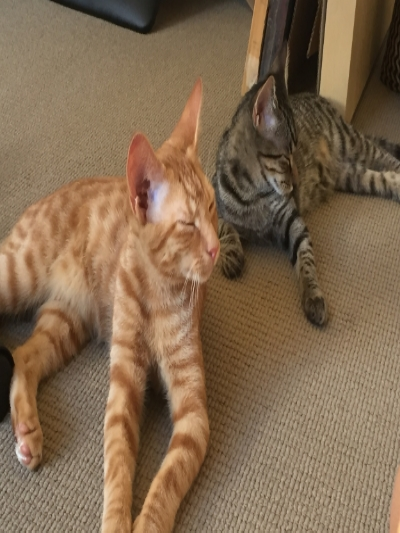 Brother-and-sister-kittens-ginger-tabby-and-tabby