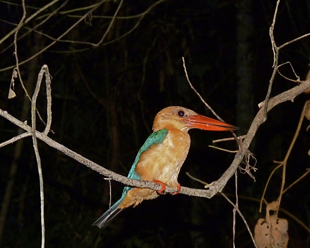 The long-bill kingfisher (who'da thunk?)
