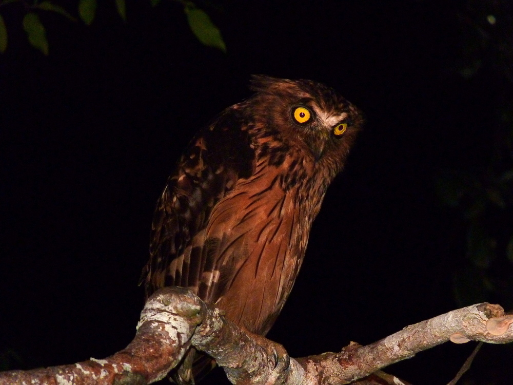The buffy fish owl (yes, Buffy)