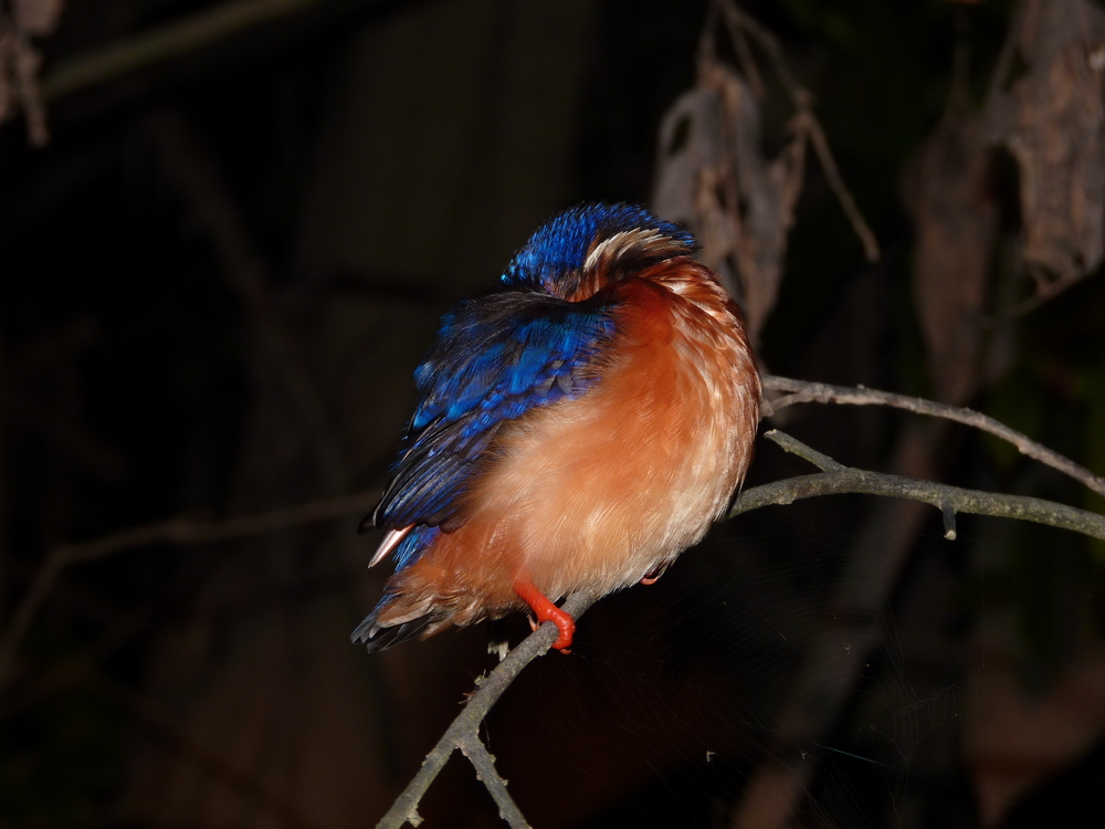 or this blue-eared kingfisher?