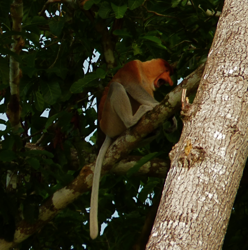 Proboscis monkeys are found only in the mangrove forests of Borneo