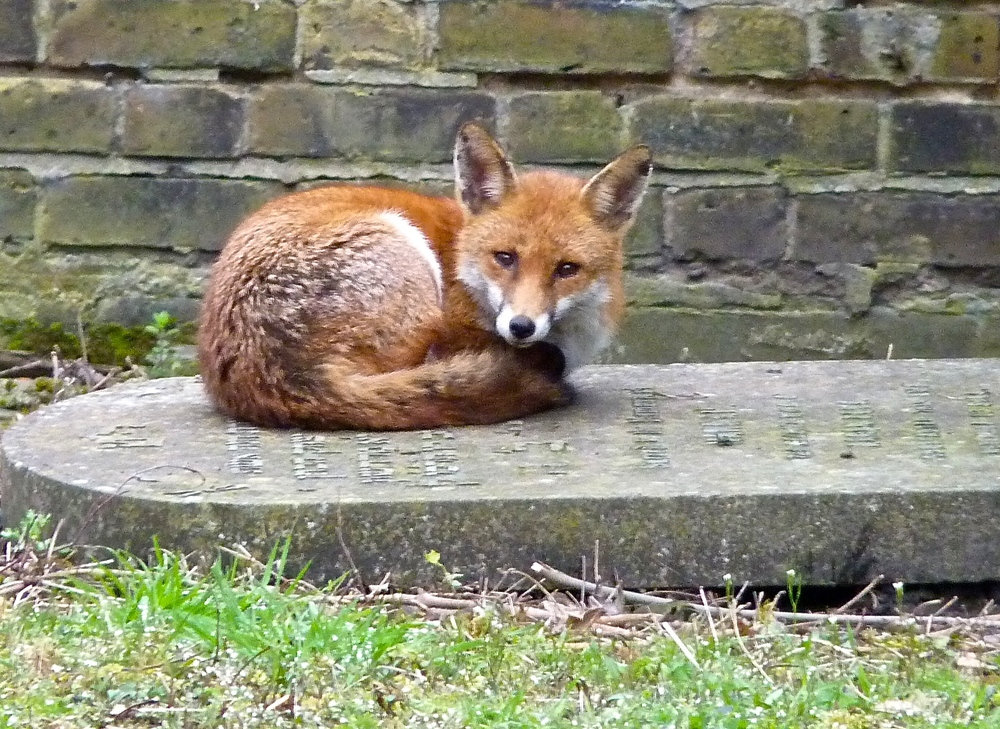 This is Foxykins. Foxykins is a red-tailed fox who lives next door. She is pretty and smells good but likes to eat birds. Olive Daddy loves birds. My job is to protect the birds from Foxykins. Stay away from our garden, Foxykins!