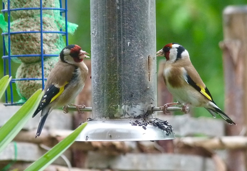These are Olive Daddy's favorite birds. They are called Goldfinches. I don't see what the big deal is. Do you think they're pretty?