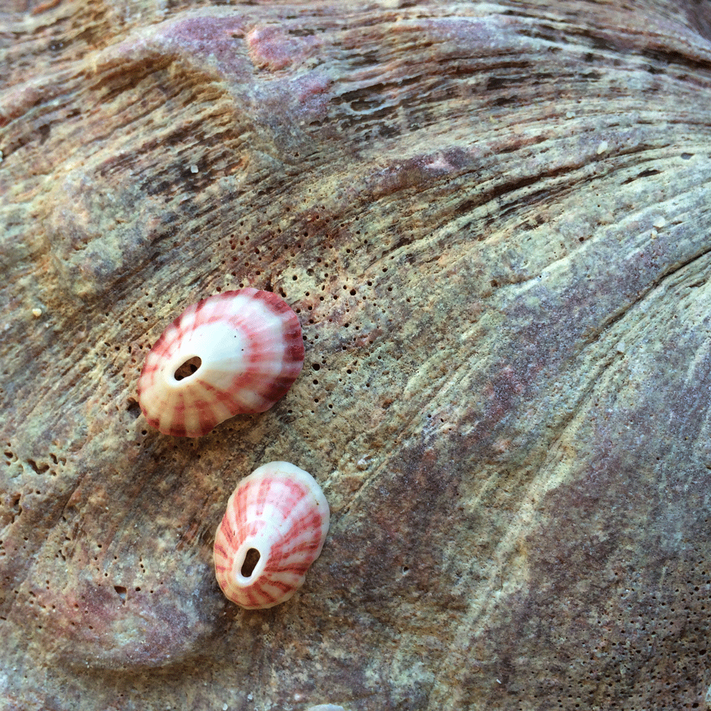 pink-limpet-web.png