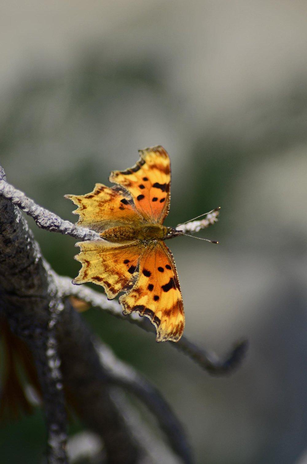 orangebutterfly.jpg