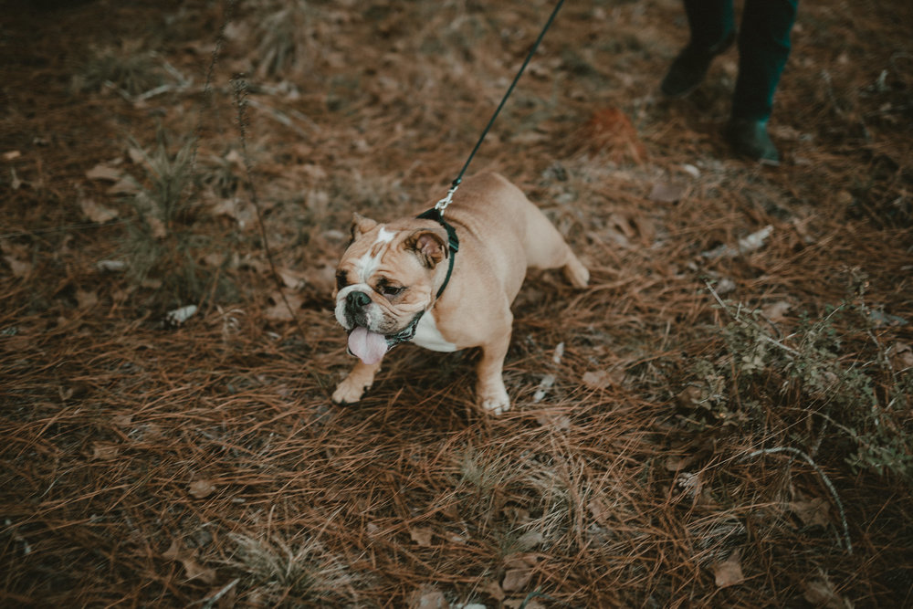 bulldog engagement session