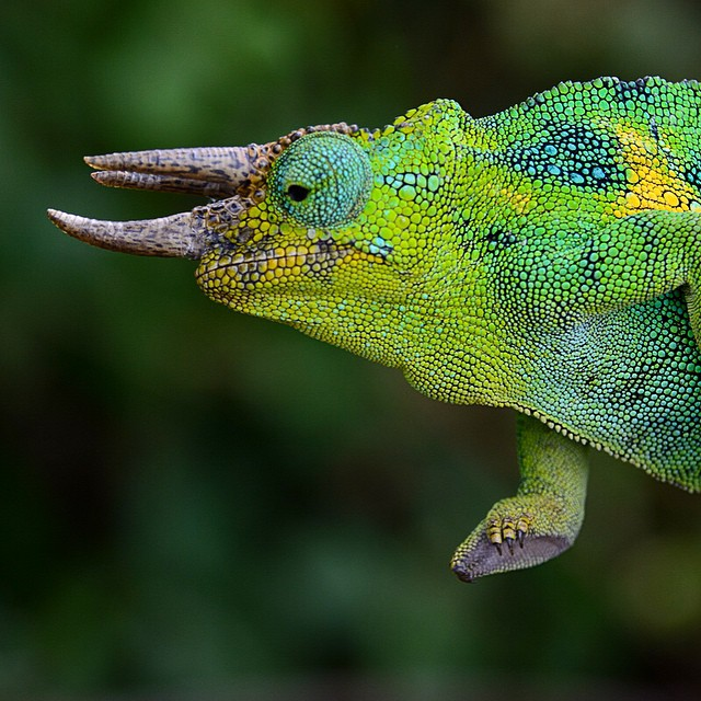 Three-horned chameleon a air-walk. In #Bwindi Impenetrable Forest.