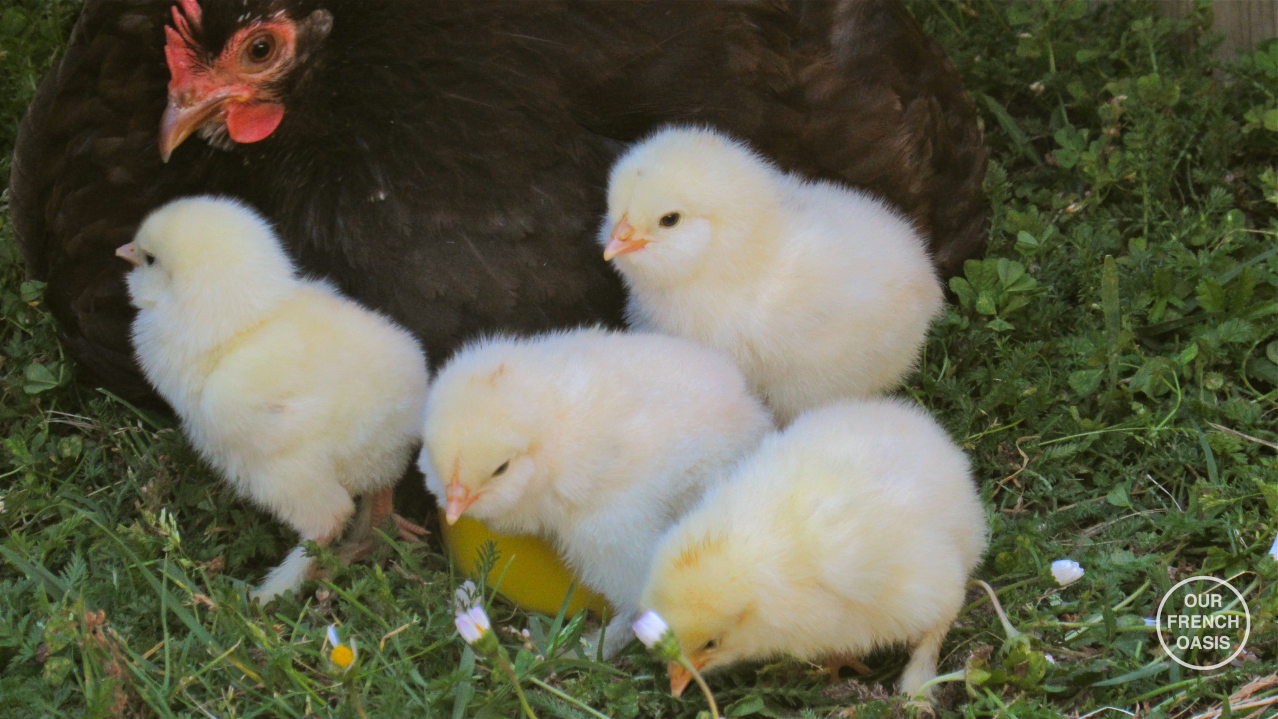 We have chicks!
