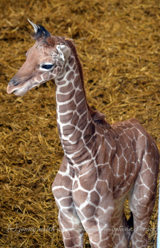Baby Giraffe at Whipsnade Zoo - Cheetahs In My Shoes