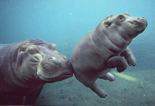 Who Wants to Be a Tiger Mom When You Can Be a Hippo Mum?