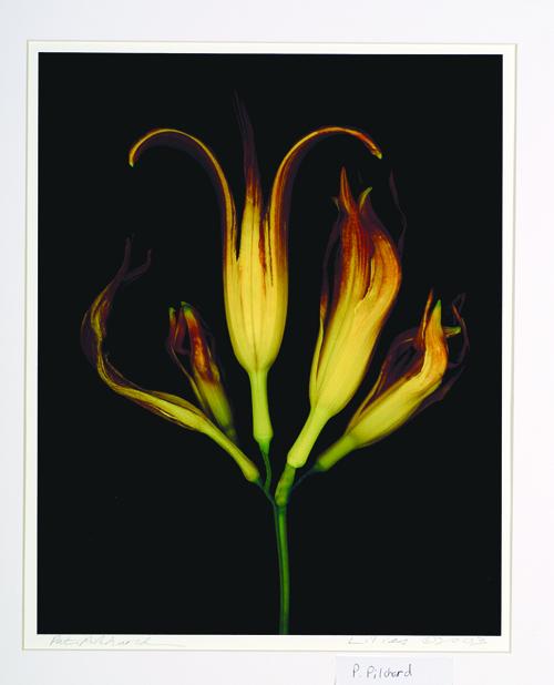 Pat Pilchard  Lilies  Digital print