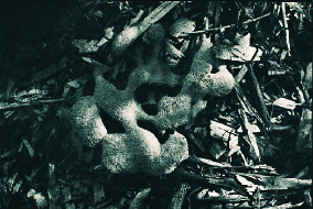 Joann Maier  Fungi  photogravure