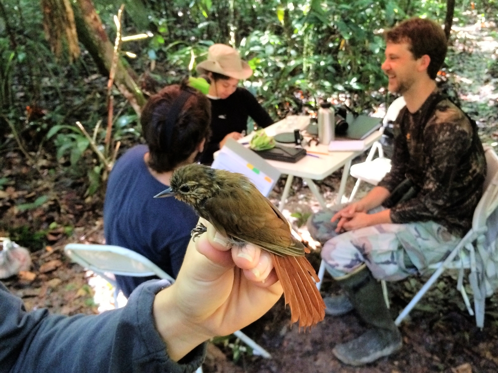 Wedge-billed woodcreeper ( Glyphorynchus spirurus ), with two students and Erik Johnson in the background.
