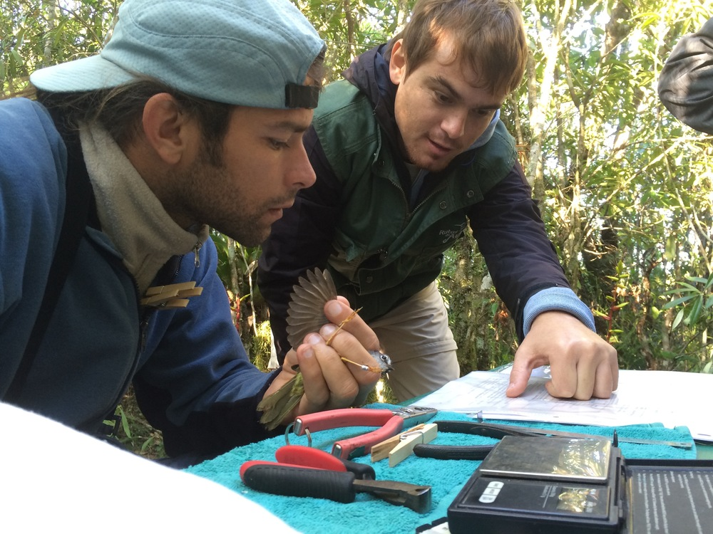 Marcio Reppening and Diego Garcia, processing a White-rimmed warbler (Myiothlypis leucoblephara)