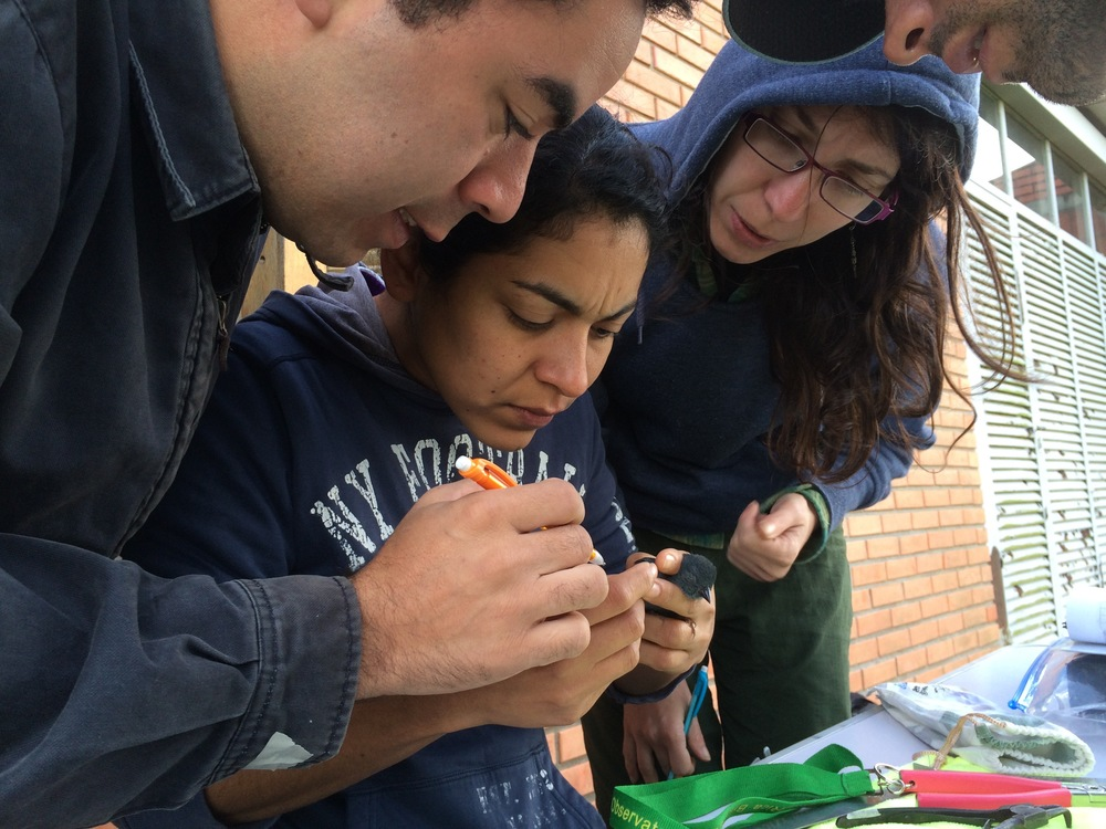 Chespi, Aracely Guzmán, and Graziela Dotta looking for molt limits on a Uniform finch ( Haplospiza unicolor )