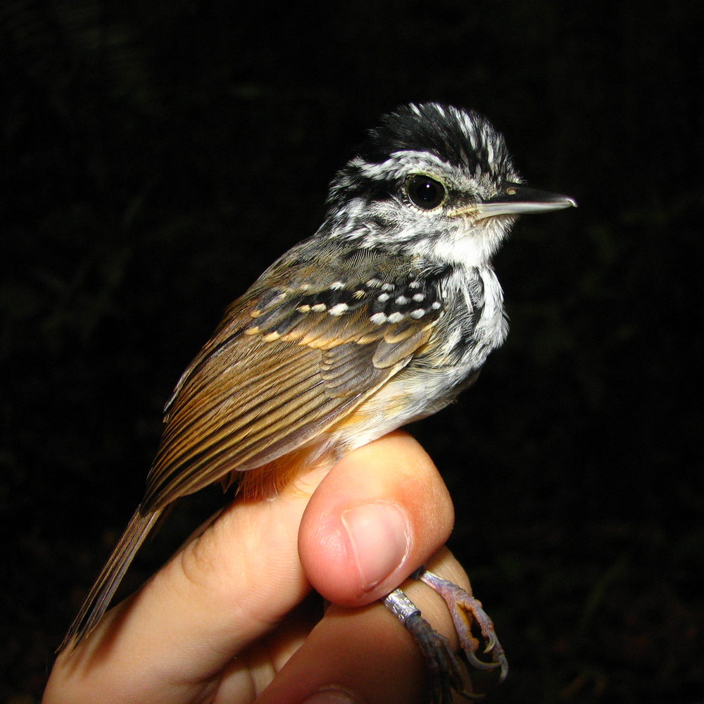 A Guianan warbling antbird,  Hypocnemis cantator , banded and ready for release. Photo by Erik Johnson, at the Biological Dynamics of Forest Fragments Project area, Amazonas, Brazil.