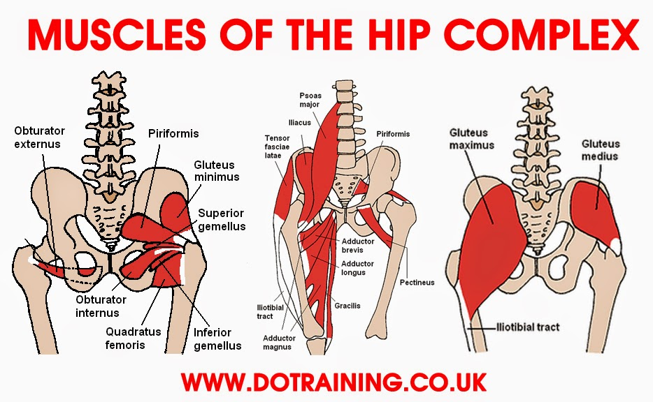 muscles-of-hip.jpg