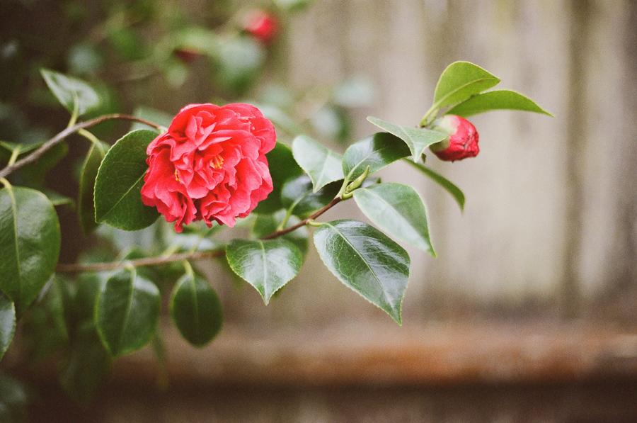 the-camellias-3