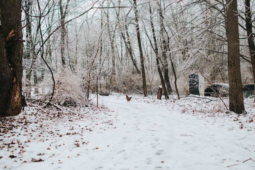 Something about chickens in the snow… so pretty.