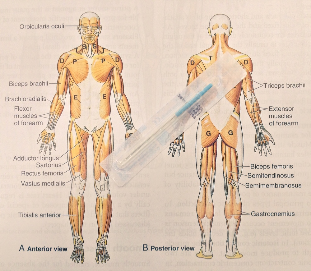 Source: Essential Clinical Anatomy (K.L. Moore, A.M.R. Agur)