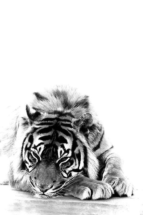 Tiger resting.jpg