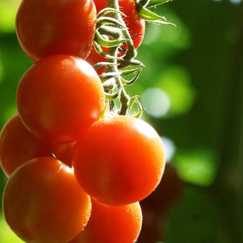 Pomodoro-bio-ricetta-Crackers-Mediterranei-Zanella-Bio.jpg
