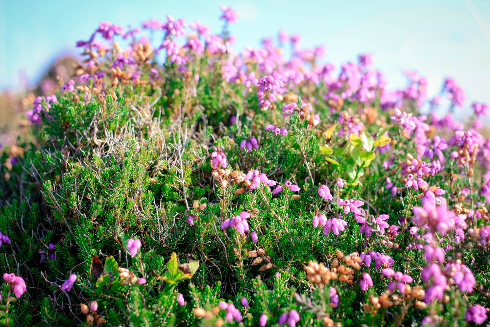 Heather in bloom.