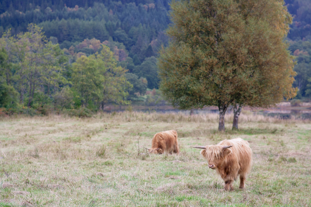 "Scottish ""coos"" on the banks of Loch Achray."