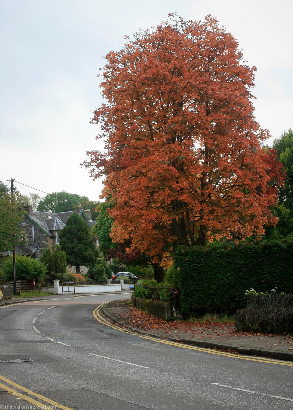 A stunning, red tree in Aberfoyle.