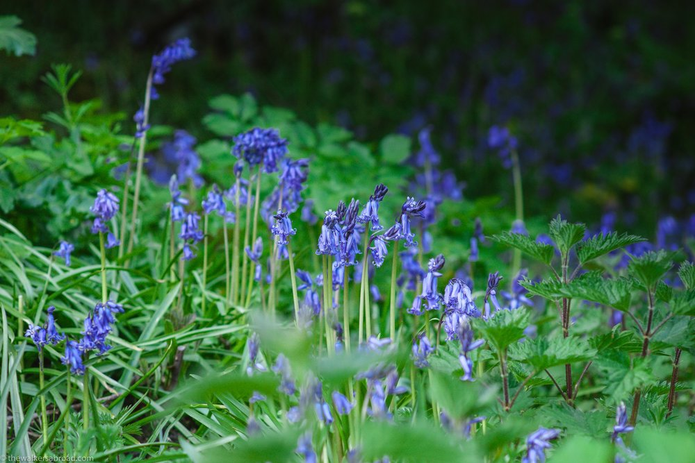 The bluebells growing below Dumbarton Castle.
