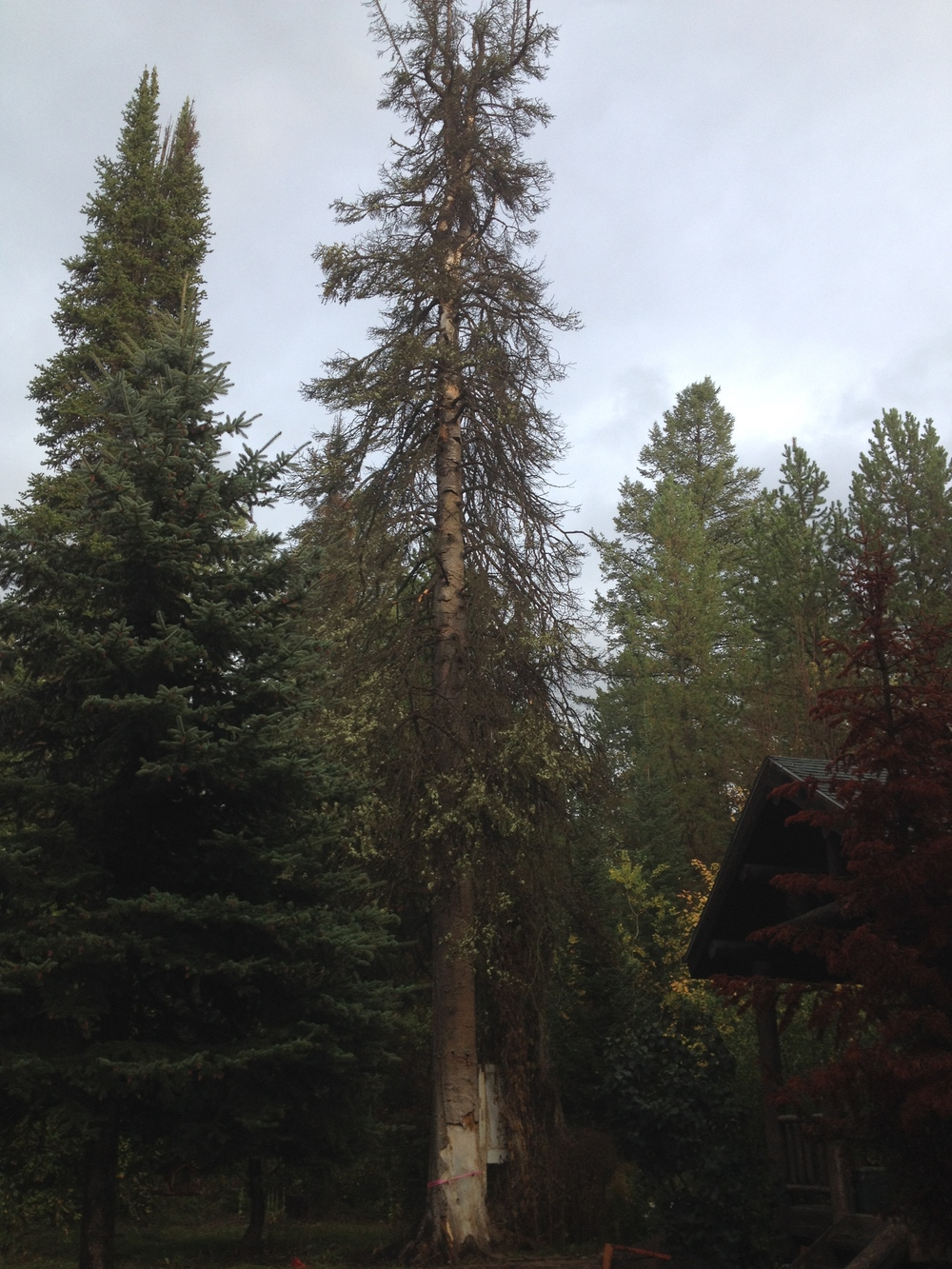 Mature Dead Subalpine Fir Near Home