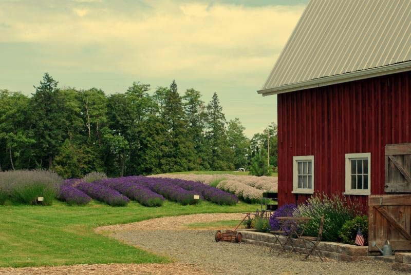 Red Barn Lavender Farm in Ferndale, WA.