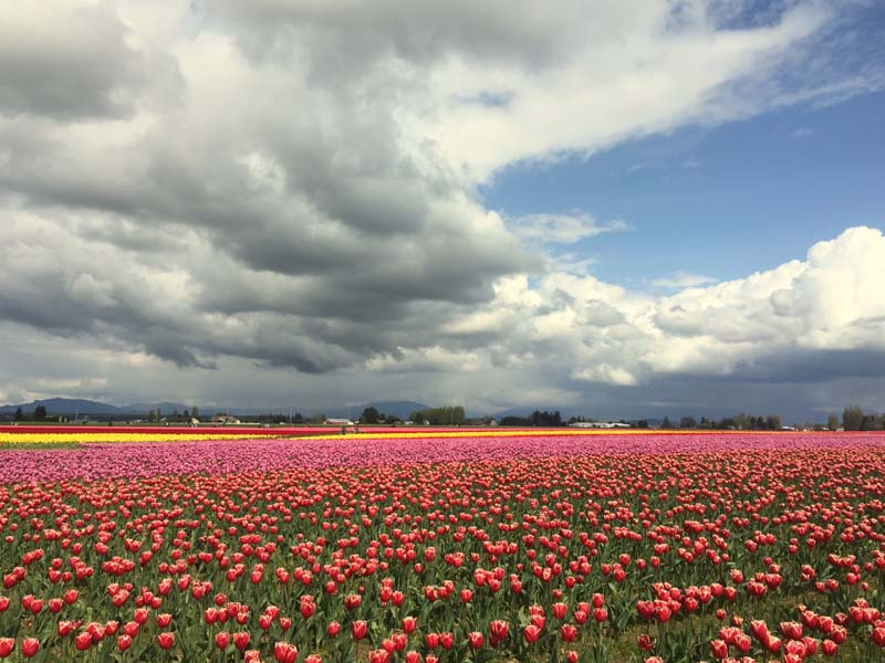 Tulip Fields in Skagit County.