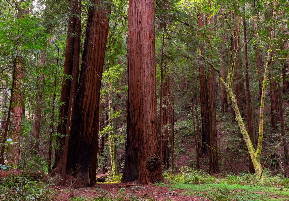 Muir Woods, California